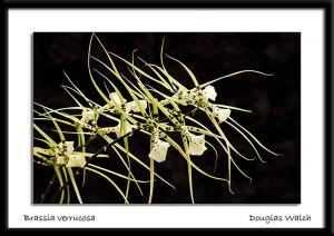 Brassica.jpg
