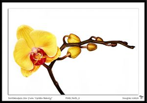 _MG_7651_2 Doritaenopsis Sin Yuan Golden Beauty.jpg